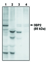 Western blot of anti-3BP2 at 10 ug/ml on recombinant full length 3BP2 protein (1), 3BP2 protein minus the PH domain (2), 3BP2 protein minus the PR domain (3) and 3BP2 protein minus the SH2 domain (4).