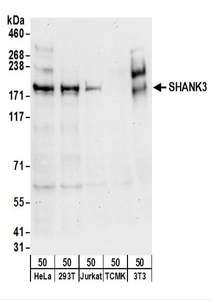 Detection of Human and Mouse SHANK3 by Western Blot. Samples: Whole cell lysate (50 ug) from HeLa, 293T, Jurkat, mouse TCMK-1, and mouse NIH3T3 cells. Antibodies: Affinity purified rabbit anti-SHANK3 antibody used for WB at 0.1 ug/ml. Detection: Chemiluminescence with an exposure time of 30 seconds.