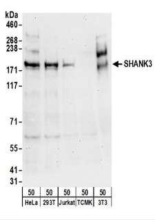 SHANK3 Antibody - Detection of Human and Mouse SHANK3 by Western Blot. Samples: Whole cell lysate (50 ug) from HeLa, 293T, Jurkat, mouse TCMK-1, and mouse NIH3T3 cells. Antibodies: Affinity purified rabbit anti-SHANK3 antibody used for WB at 0.1 ug/ml. Detection: Chemiluminescence with an exposure time of 30 seconds.