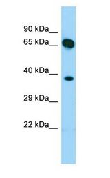 SHC4 Antibody - SHC4 antibody Western Blot of Fetal Heart.  This image was taken for the unconjugated form of this product. Other forms have not been tested.