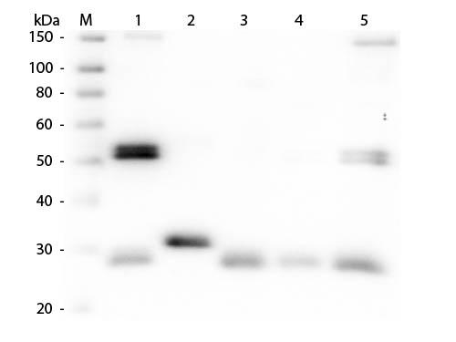 Rat IgG Antibody - Western Blot of Anti-Rat IgG (H&L) (SHEEP) Antibody  Lane M: 3 µl Molecular Ladder. Lane 1: Rat IgG whole molecule  Lane 2: Rat IgG F(c) Fragment  Lane 3: Rat IgG Fab Fragment  Lane 4: Rat IgM Whole Molecule  Lane 5: Rat Serum  All samples were reduced. Load: 50 ng per lane.