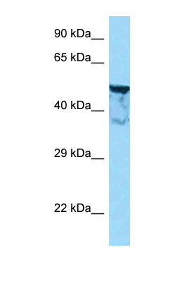 KIAA1598 antibody LS-C146288 Western blot of Mouse Heart lysate. Antibody concentration 1 ug/ml.  This image was taken for the unconjugated form of this product. Other forms have not been tested.