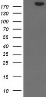 SHPRH Antibody - HEK293T cells were transfected with the pCMV6-ENTRY control (Left lane) or pCMV6-ENTRY SHPRH (Right lane) cDNA for 48 hrs and lysed. Equivalent amounts of cell lysates (5 ug per lane) were separated by SDS-PAGE and immunoblotted with anti-SHPRH.