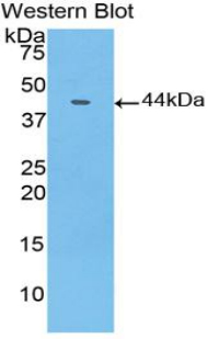 Western blot of recombinant Sialylated Lewis a / CA 19-9.  This image was taken for the unconjugated form of this product. Other forms have not been tested.