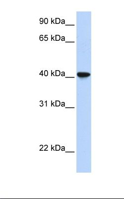 Fetal lung lysate. Antibody concentration: 1.0 ug/ml. Gel concentration: 12%.  This image was taken for the unconjugated form of this product. Other forms have not been tested.