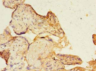 Immunohistochemistry of paraffin-embedded human placenta using antibody at dilution of 1:100.