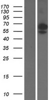 SIGLEC6 Protein - Western validation with an anti-DDK antibody * L: Control HEK293 lysate R: Over-expression lysate