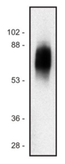 Western blot of human Jurkat T cell line lysate (1% laurylmaltoside); non-reduced sample, immunostained bymAbSIT-01 andgoat anti-mouse IgG (H+L)-HRPconjugate.