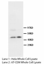 SKP2 Antibody -  This image was taken for the unconjugated form of this product. Other forms have not been tested.