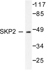 Western blot of SKP2/p45 (P399) pAb in extracts from 293 cells.