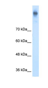 SLC12A2 / NKCC1 antibody ARP43805_T100-NP_001037-SLC12A2(solute carrier family 12 (sodium/potassium/chloride transporters), member 2) Antibody Western blot of DLD1 cell lysate.  This image was taken for the unconjugated form of this product. Other forms have not been tested.