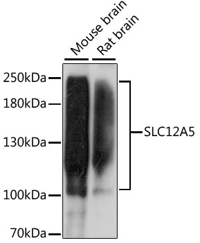 SLC12A5 / KCC2 Antibody - Western blot analysis of extracts of various cell lines, using SLC12A5 antibody at 1:1000 dilution. The secondary antibody used was an HRP Goat Anti-Rabbit IgG (H+L) at 1:10000 dilution. Lysates were loaded 25ug per lane and 3% nonfat dry milk in TBST was used for blocking. An ECL Kit was used for detection and the exposure time was 60s.