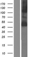 SLC16A10 Protein - Western validation with an anti-DDK antibody * L: Control HEK293 lysate R: Over-expression lysate