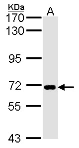 Sample (30 ug of whole cell lysate). A: H1299. 7.5% SDS PAGE. SLC20A1 antibody. SLC20A1 antibody diluted at 1:1000.