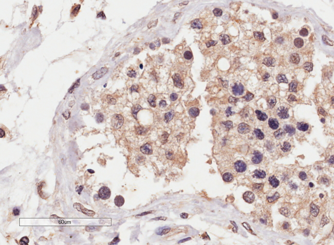EB07474 (4µg/ml) staining of paraffin embedded Human Testis. Microwaved antigen retrieval with Tris/EDTA buffer pH9, HRP-staining.
