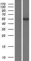 SLC22A17 Protein - Western validation with an anti-DDK antibody * L: Control HEK293 lysate R: Over-expression lysate