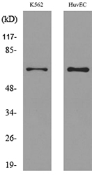 SLC22A6 / OAT1 Antibody - Western blot analysis of lysate from K562, HUVEC cells, using SLC22A6 Antibody.