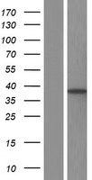 SLC25A37 / Mitoferrin Protein - Western validation with an anti-DDK antibody * L: Control HEK293 lysate R: Over-expression lysate