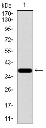 SLC2A4 / GLUT-4 Antibody - Western blot using SLC2A4 monoclonal antibody against human SLC2A4 recombinant protein. (Expected MW is 39.9 kDa)
