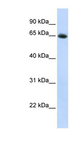 SLC2A4 / GLUT4 antibody Western blot of HepG2 cell lysate. This image was taken for the unconjugated form of this product. Other forms have not been tested.
