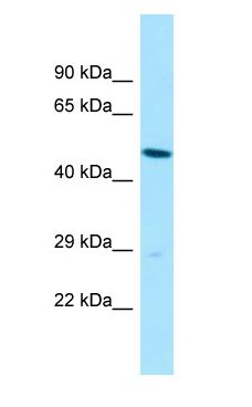 SLC35B2 antibody Western Blot of HepG2.  This image was taken for the unconjugated form of this product. Other forms have not been tested.
