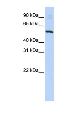SLC36A2 antibody LS-B5776 Western blot of HepG2 cell lysate.  This image was taken for the unconjugated form of this product. Other forms have not been tested.