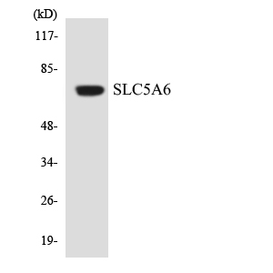 Western blot analysis of the lysates from COLO205 cells using SLC5A6 antibody.