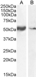 Goat Anti-SLC7A11 Antibody (0.1µg/ml) staining of Human Smooth Muscle (A) and Tonsil (B) lysate (35µg protein in RIPA buffer). Detected by chemiluminescencence.