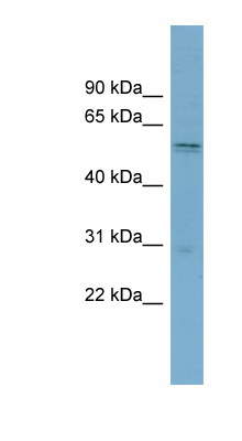 SLC7A11 antibody Western blot of THP-1 cell lysate. This image was taken for the unconjugated form of this product. Other forms have not been tested.