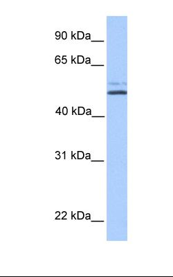 NTERA2 cell lysate. Antibody concentration: 1.0 ug/ml. Gel concentration: 12%.  This image was taken for the unconjugated form of this product. Other forms have not been tested.