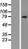 SLCO1C1 / OATPF Protein - Western validation with an anti-DDK antibody * L: Control HEK293 lysate R: Over-expression lysate