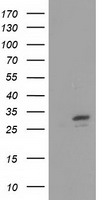 SLIM / FHL1 Antibody - HEK293T cells were transfected with the pCMV6-ENTRY control (Left lane) or pCMV6-ENTRY FHL1 (Right lane) cDNA for 48 hrs and lysed. Equivalent amounts of cell lysates (5 ug per lane) were separated by SDS-PAGE and immunoblotted with anti-FHL1.