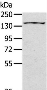 Western blot analysis of Mouse bladder tissue, using SLIT2 Polyclonal Antibody at dilution of 1:200.
