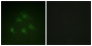 Immunofluorescence analysis of HeLa cells, using Smad1 Antibody. The picture on the right is blocked with the synthesized peptide.
