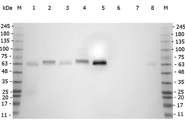 SMAD3 Antibody - Western Blot of rabbit anti-SMAD3 antibody. Marker: Opal Pre-stained ladder Lane 1: HEK293 lysate Lane 2: HeLa Lysate Lane 3: MCF-7 Lysate Lane 4: Jurkat Lysate Lane 5: A549 Lysate Lane 6: HL-60 Lysate Lane 7: Raji Lsyate Lane 8: NIH/3T3 Lysate Load: 35 µg per lane. Primary antibody: SMAD3 antibody at 1:5,000 for overnight at 4°C. Secondary antibody: Peroxidase rabbit secondary antibody at 1:30,000 for 60 min at RT. Blocking Buffer: 1% Casein-TTBS for 30 min at RT. Predicted/Observed size: 48 kDa for SMAD3.