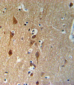 SMAD3-S208 Antibody IHC of formalin-fixed and paraffin-embedded brain tissue followed by peroxidase-conjugated secondary antibody and DAB staining.