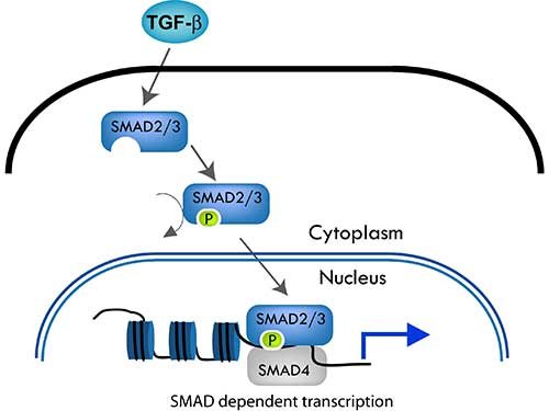 SMAD3 Antibody - The SMAD pathway follows the canonical TGF-ß signaling pathway. TGF-ß dimers bind to a receptor thereby activating the pathway. The type I receptor then recruits and phosphorylates a receptor regulated SMAD (R-SMAD).i.e. SMAD2 or SMAD3. The R-SMAD then binds to the common SMAD (coSMAD) i.e. SMAD4, and forms a heterodimeric complex. This complex then enters the cell nucleus and acts as a transcription factor.