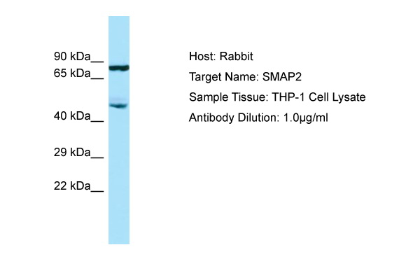 SMAP2 Antibody -  This image was taken for the unconjugated form of this product. Other forms have not been tested.