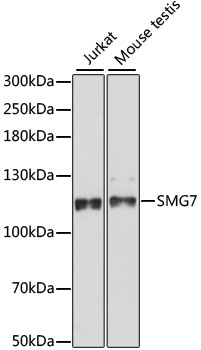 SMG7 Antibody - Western blot analysis of extracts of various cell lines, using SMG7 antibody at 1:1000 dilution. The secondary antibody used was an HRP Goat Anti-Rabbit IgG (H+L) at 1:10000 dilution. Lysates were loaded 25ug per lane and 3% nonfat dry milk in TBST was used for blocking. An ECL Kit was used for detection and the exposure time was 90s.