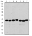 Western blot using SMN1 mouse monoclonal antibody against HepG2 (1), HeLa (2), K562 (3), Jurkat (4), SKBR-3 (5), A431 (6) and Cos7 (7) cell lysate.