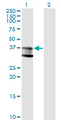 Western Blot analysis of SMPD1 expression in transfected 293T cell line by SMPD1 monoclonal antibody (M01), clone 4H2.Lane 1: SMPD1 transfected lysate(39.6 KDa).Lane 2: Non-transfected lysate.