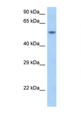 SNAPC1 antibody Western blot of Rat Brain lysate. Antibody concentration 1 ug/ml.  This image was taken for the unconjugated form of this product. Other forms have not been tested.