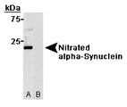 Nitrated alpha-Synuclein antibody (24.8) - Western blot of (A) Nitrated alpha-Synuclein protein and (B) non-nitrated alpha-Synuclein protein.  This image was taken for the unconjugated form of this product. Other forms have not been tested.