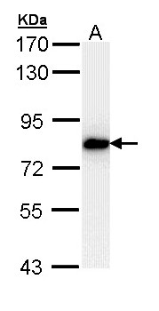 SNRK Antibody - Sample (30 ug of whole cell lysate). A: H1299. 7.5% SDS PAGE. SNRK antibody diluted at 1:1000.