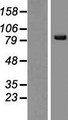 SNRK Protein - Western validation with an anti-DDK antibody * L: Control HEK293 lysate R: Over-expression lysate