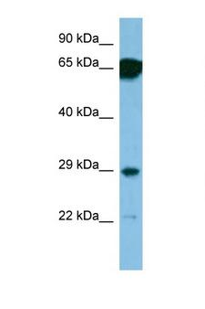SNRPN Antibody - SNRPN antibody Western blot of 1 Cell lysate. Antibody concentration 1 ug/ml. This image was taken for the unconjugated form of this product. Other forms have not been tested.