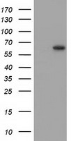 SNTG1 Antibody - HEK293T cells were transfected with the pCMV6-ENTRY control (Left lane) or pCMV6-ENTRY SNTG1 (Right lane) cDNA for 48 hrs and lysed. Equivalent amounts of cell lysates (5 ug per lane) were separated by SDS-PAGE and immunoblotted with anti-SNTG1.