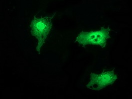 SNTG1 Antibody - Anti-SNTG1 mouse monoclonal antibody immunofluorescent staining of COS7 cells transiently transfected by pCMV6-ENTRY SNTG1.