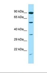 SNTG2 / SYN5 Antibody - Western blot of Human HT1080. SNTG2 antibody dilution 1.0 ug/ml.  This image was taken for the unconjugated form of this product. Other forms have not been tested.