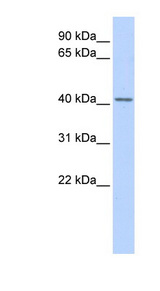 SNUPN antibody LS-C101858 Western blot of Fetal Heart lysate.  This image was taken for the unconjugated form of this product. Other forms have not been tested.